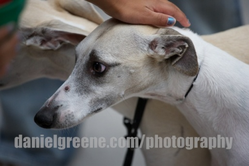 Greyhounds have such sweet, long faces and physiques.