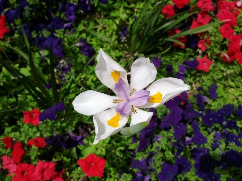 fortnight lily among petunias