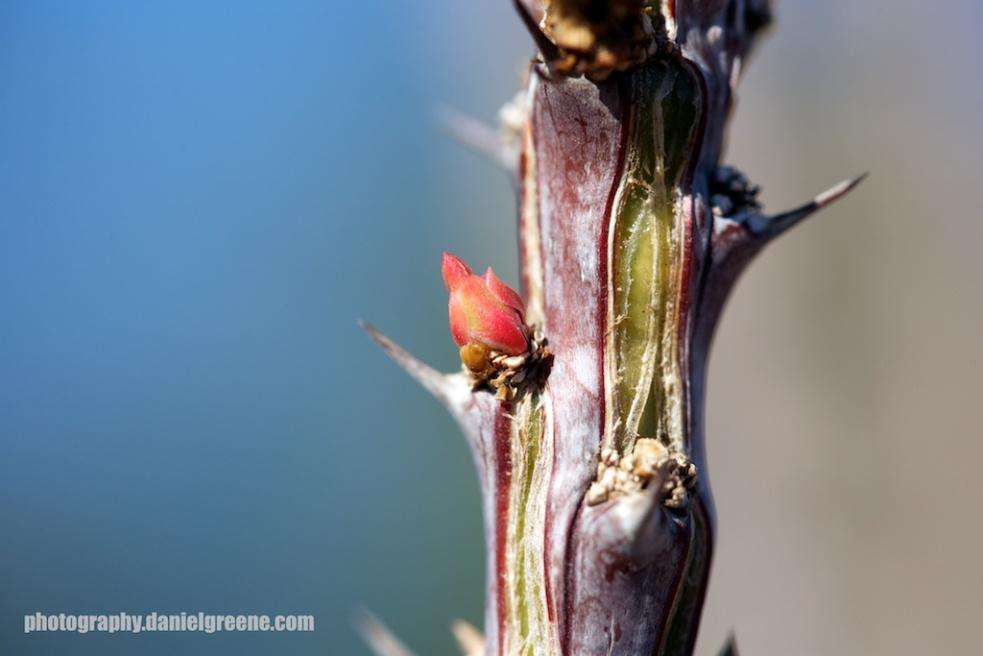 Caught this little baby with my camera today just as it was peeking its head through the stalk of our ocotillo.