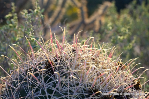 Backlit Barrel Cactus