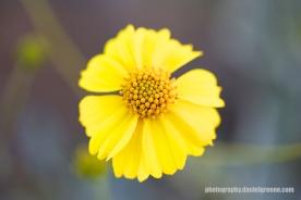 Brittle Bush Flower