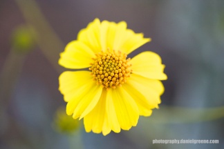 Brittle Bush Flower