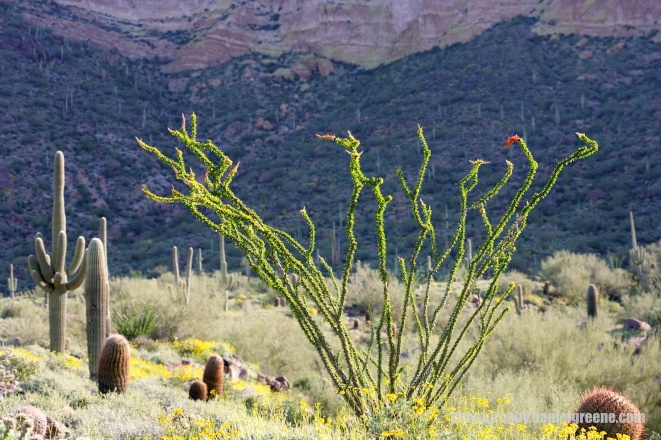 Ocotillo against the mountain