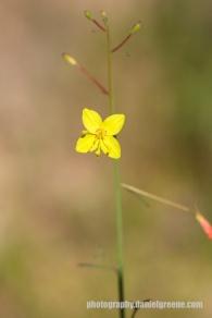 Yellow Bladderpod
